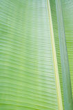 Banana leaf royalty free stock photography