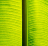 Banana leaf. A photo of banana leaf Stock Photos