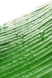 Banana leaf in the rain. Fresh banana leaf with water droplets. shallow depth of field Stock Photo