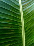 Banana leaf after rain Royalty Free Stock Images