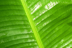 Banana leaf is refreshing rain drops after rain Royalty Free Stock Images