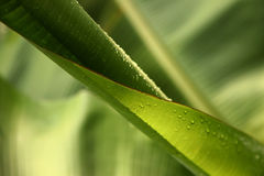Banana leaf roll. A tender banana leaf roll, selectively focussed Royalty Free Stock Image