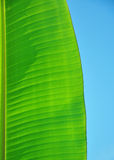 Banana leaf with sky Stock Image