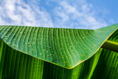 Banana leaf and sky. Royalty Free Stock Photo