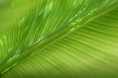Banana leaf structure. Macro view of green banana leaf structure Royalty Free Stock Images