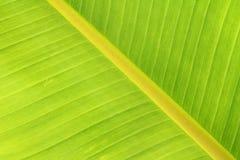 Banana leaf texture Royalty Free Stock Photos