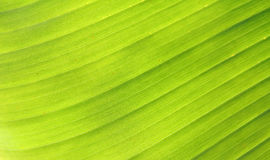 Banana leaf texture Royalty Free Stock Images