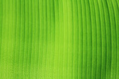 Banana leaf texture. Stock Images