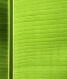 Banana leaf texture. Close up of banana leaf with highlights Stock Photos