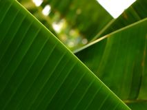 Banana leaf. And texture of leaf Stock Image