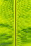 Banana leaf texture Stock Images