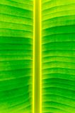 Banana leaf texture and background Royalty Free Stock Photo