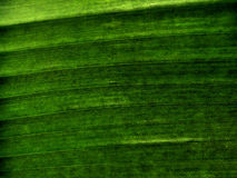 Banana Leaf Texture. Banana Leaf close-up shoot. texture background stock photography