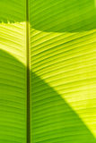 Banana Leaf Texture Royalty Free Stock Image