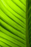Banana leaf texture Stock Photo