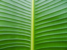 Banana leaf texture. Green banana leaf texture background Stock Photography