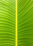 Banana leaf texture. Green banana leaf texture background Royalty Free Stock Image