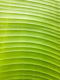 Banana leaf texture. Green banana leaf texture background Royalty Free Stock Photos