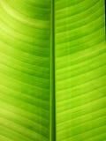 Banana Leaf Texture Stock Image