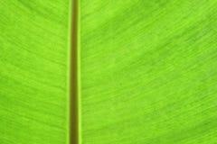 Banana leaf texture Stock Photo