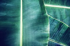 Banana leaf texture, green tropical pattern background concept. Copy space stock photography