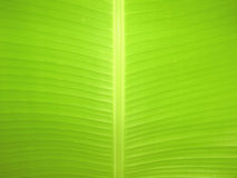 Banana Leaf Texture Stock Photos