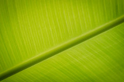Banana leaf. Stock Photo