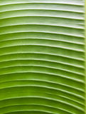 Banana leaf texture. Natural green banana leaf texture Royalty Free Stock Images