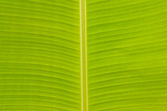 Banana Leaf Texture Royalty Free Stock Photo