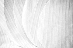 Banana leaf texture Soft tone White color Royalty Free Stock Image