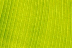Banana leaf texture Royalty Free Stock Photography