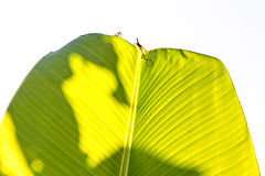 Banana leaf texture Stock Image
