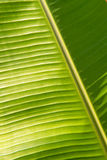 Banana leaf. Texture banana leaf in thailand Royalty Free Stock Images