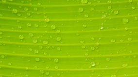 Banana leaf texture with water drops. Green banana leaf texture with water drops after raining Royalty Free Stock Image