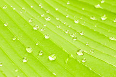 Banana leaf texture with water drops. Green banana leaf texture with water drops after raining Royalty Free Stock Photography