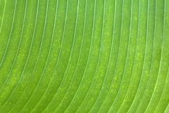 Banana Leaf texture Stock Photography