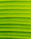 Banana Leaf Textures showing Natural Vein, Closeup, Vertical. Stock Photography
