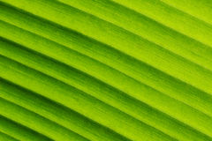 Banana Leaf Textures showing Natural Vein, Gradient Background. Closeup Royalty Free Stock Images