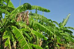 Banana leaf and tree Royalty Free Stock Image