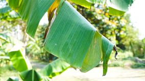 Banana Leaf. Of banana tree Stock Images