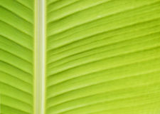 Banana leaf. Using for background stock photo