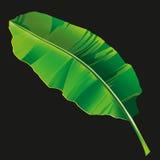 Banana leaf 1 Stock Image
