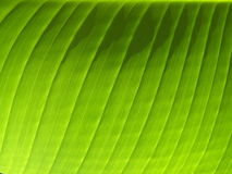 Banana Leaf Veins Stock Photo