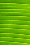 Banana Leaf Veins Royalty Free Stock Photo