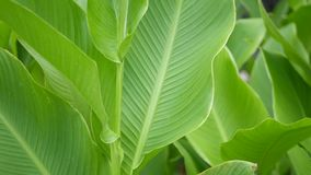 Banana leaf wall. Large tropical fresh green banana tree leaves. Natural tropical exotic background