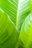 Banana leaf with water drop Stock Image
