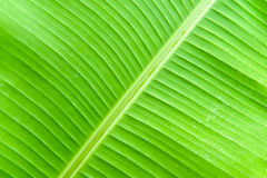 Banana leaf with water droplets Stock Images