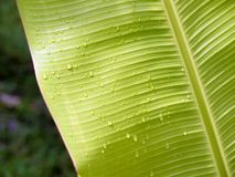 Banana leaf with water droplets Royalty Free Stock Photo