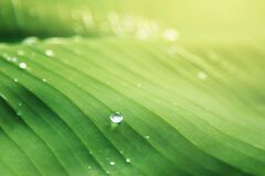 Banana leaf with water drops Royalty Free Stock Photo