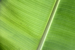 Banana leaf with water drops Stock Images
